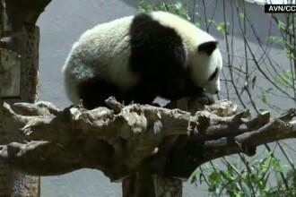 Sapte ursi panda s-au mutat in