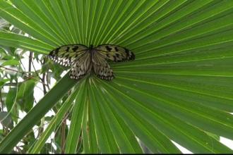 Cele mai frumoase specii de fluturi din lume pot fi admirate la Galati. Exemplarele cu aripi si de 20 de centimetri