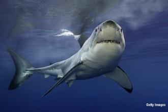 Festin pentru rechini, chiar sub ochii turistilor: momentele in care 70 de pradatori devoreaza o balena, filmate cu o drona