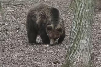 Tanar de 19 ani, atacat de o ursoaica la marginea Brasovului. Ce a facut dupa ce a fost grav ranit