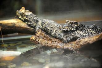 Femeie ucisa de crocodil in timp ce se scalda noaptea in Australia. Ultimele ei cuvinte inainte de a fi trasa in apa
