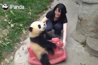 Ursul panda care face furori pe internet dupa ce a fost filmat leganandu-se pe un balansoar. VIDEO