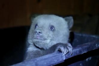 Un pui de urs, care a fost salvat dintr-o padure din Harghita, face furori pe internet. Viata lui va fi documentata