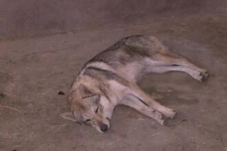 Lupul gasit in Parcul Nicolae Romanescu din Craiova este, de fapt, un caine lup cehoslovac. Reactia proprietarului