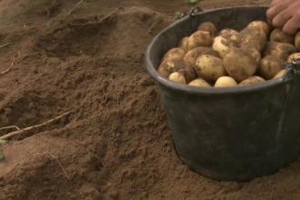 Primii cartofi noi romanesti au ajuns in piete cu o luna mai devreme. Tehnologia folosita in premiera de fermieri