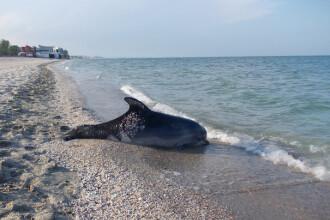 Sase pui de delfin, dintr-o specie pe cale de disparitie, gasiti morti pe o plaja din Navodari. Ce suspecteaza specialistii