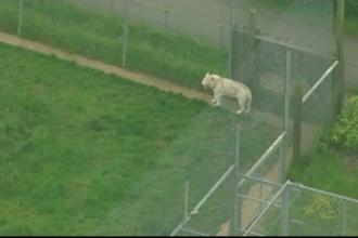 Angajata unui zoo din Marea Britanie ucisa de un tigru. Isteria care s-a creat apoi pe retelele de socializare