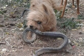 Un caine i-a salvat viata stapanei sale, dupa ce a omorat o cobra, in gradina femeii. Ce s-a intamplat dupa o jumatate de ora
