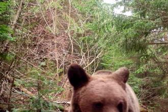 Reacția amuzantă a unui urs când descoperă o cameră de monitorizare într-o pădure din Vrancea