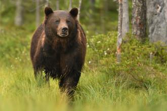 Copil de 9 ani din Harghita, atacat de urs în timp ce se afla cu vacile la păscut
