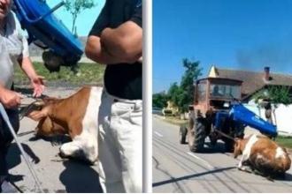 Bărbatul care a târât o vacă cu tractorul, pe stradă, este cercetat penal