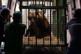 Ursoaica Pamela, eliberată în rezervaţia de la Zărneşti, după 28 de ani de captivitate
