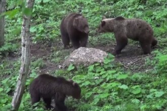 Ministerul Mediului va da liber la uciderea urșilor din păduri. Ecologiștii sunt scandalizați