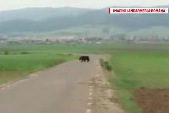 Jandarmii din Harghita au ajutat o ursoaică să-și găsească puii rătăciți