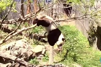 Ursul panda Bei Bei i-a distrat pe turiștii de la grădina zoologică din Washington