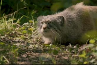 4 pisici din rasa Manul au devenit atracția unui zoo din Anglia