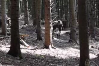 Imagini cu primul pui de zimbru născut în această primăvară într-o rezervație din Neamț. VIDEO