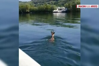 Intervenție neobișnuită în Pitești. Jandarmii au ajutat un pui de căprioară căzut în apă