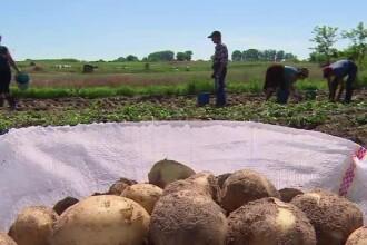 Cartofii noi româneşti nu mai ajung în pieţe, ci la export. Profituri uriașe pentru fermieri
