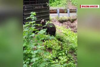 Proprietarii cabanelor de pe Transfăgărășan, asaltați de urșii care caută mâncare
