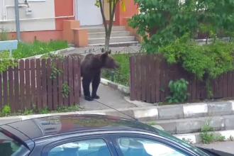 Planul autorităților pentru urșii care vin în oraș: mai multe mușuroaie și zmeură
