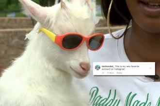 Cea mai modernă capră pe care aţi văzut-o vreodată. Are peste 50.000 de fani pe Instagram