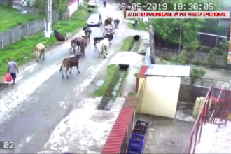 """Dosar penal în Dâmbovița, după ce 3 vaci au fost electrocutate. """"Una a început să tremure"""""""