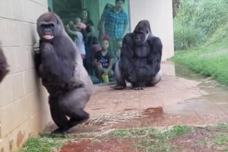 Reacția unor gorile pe timp de ploaie. Imaginile urmărite de milioane de oameni