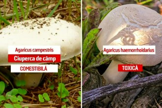 Cum să deosebim ciupercile comestibile de cele otrăvitoare. Greșeala poate fi fatală