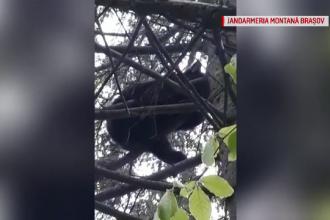 Un urs le-a dat bătăi de cap jandarmilor brașoveni. Abia după 6 ore a fost alungat