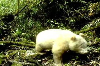 Imagini rare în China. Un urs panda albinos, fotografiat într-o pădure de bambus