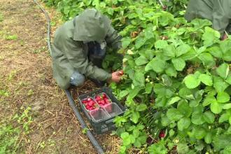 Grindina și ploile au distrus culturile de căpșuni. Producătorii au crescut prețurile
