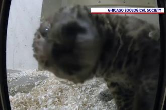 VIDEO. Reacția unui pui de leopard când descoperă o cameră video