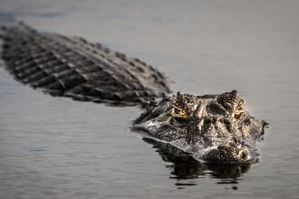 O femeie a fost ucisă de un aligator, în timp ce încerca să-i facă poze. Care au fost ultimele ei cuvinte