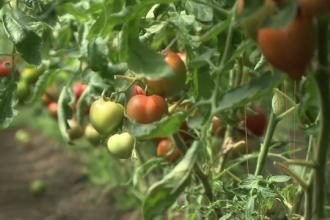 """Programul Tomata se ofilește. """"Nu mai cultivăm roșii, că muncim degeaba"""""""