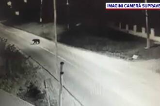Peripeții pentru un urs, surpins în centrul unei comune din Mureș. Ce a făcut acesta