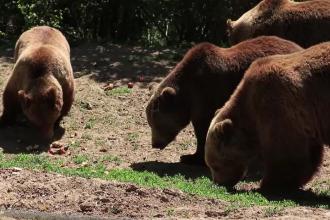 Urșii din Rezervația de la Zărnești riscă să rămână fără hrană