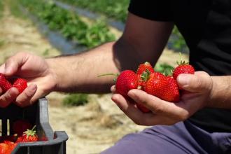 Căpșunile românești costă de două ori mai mult decât anul trecut. Care este motivul