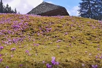 Amenzi usturătoare pentru cei care rup flori la munte. Cât costă o astfel de ispravă