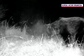 """Noi detalii în cazul ursului """"Arthur"""". Blana animalului, identificată într-o tăbăcărie din Târgu Secuiesc"""