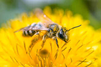 """Cercetătorii olandezi au învățat albinele cum să depisteze infecțiile cu coronavirus: """"Este o idee bună"""""""