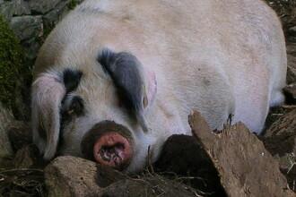 Tabara: Romania va relua exportul de carne de porc din aprilie-mai