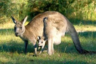 Tot mai mulți canguri din Australia atacă turiștii, după ce sunt hrăniți cu fast-food