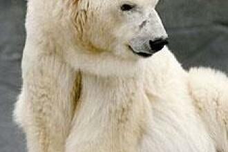 Vladimir Putin, ambasadorul ursilor polari!