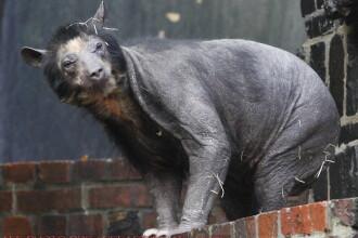 INEDIT! Doua ursoaice chele!