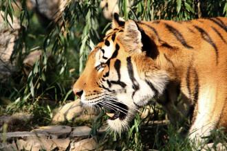 Canadian ucis de animalul sau de casa - un tigru de 300 de kilograme!