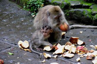 2.000 de primate s-au... maimutarit la un banchet, in Thailanda!