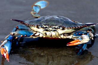 Adevarul despre crabul gigant din Marea Britanie. Dezvaluirea facuta de un biolog marin