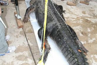 A dormit cu un crocodil de 136 de kilograme sub pat.