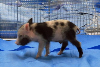 Porcii pitici vor fi noii cobai din laboratoarele europene